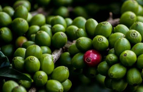 Bacche di caffè verde - green coffee